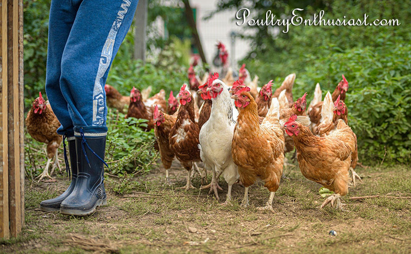 Chicken family surrounding their owner (and provider of chicken feed).